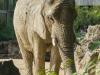 Zoo_Elephant