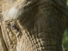 Zoo_Elephant_crop