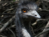 Zoo_emu_crop