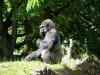 Zoo_gorilla_2