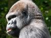 Zoo_gorilla_2_crop