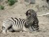 Zoo_zebra_2