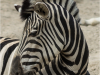 Zoo_zebra_2_crop